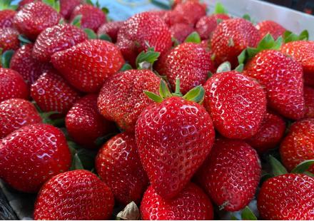 草莓種植的挑戰