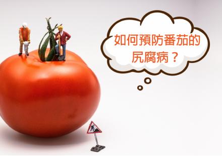 番茄尻腐病的預防
