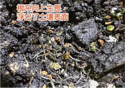 施肥位置錯誤而造成浮根