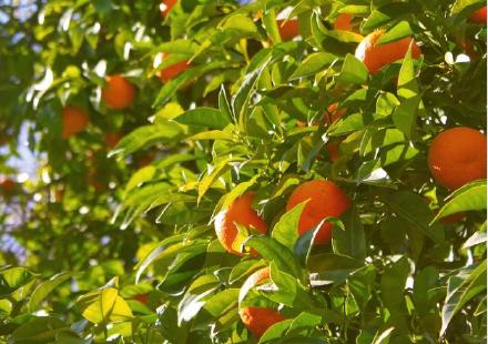 柑橘該如何減少農藥使用?