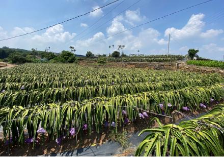 解決了缺水危機,枝條依舊黃化?要如何處理火龍果的熱障礙?